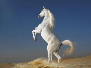 1080753__arabian-horses-stallions_p